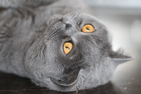 grapple: Cat breeds British Shorthair blue color