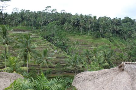 southeast asia: rice fields on the hillside in Bali, Indonesia, Southeast Asia