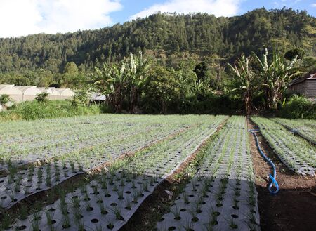equator: agricultural planting Bali, Indonesia, Southeast Asia, nature, tropics, equator