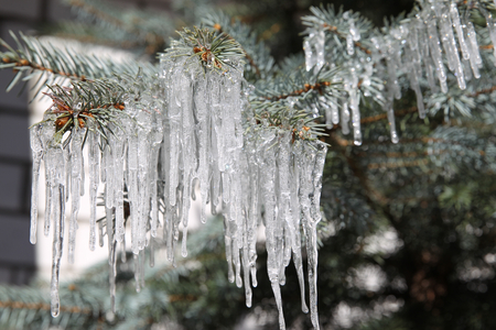 icicles: Branches of blue spruce in icicles from the rain