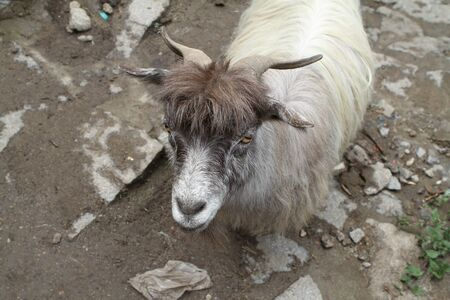 he goat: Ordinary goat, which grazes in the highlands of Tibet