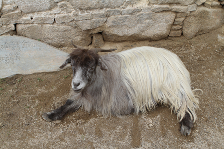ordinary: Ordinary goat, which grazes in the highlands of Tibet