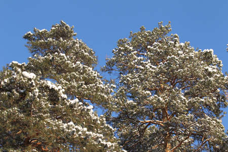 view of the evergreen pine trees in the snow