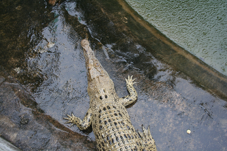 tends: big green crocodile tends to water, Koh Samui, Thailand, Koh Samui, Thailand