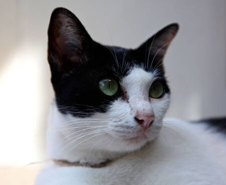 oriental white cat: Black and white cat with green eyes Stock Photo