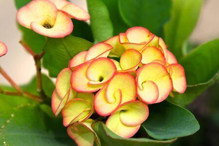 koh samui: Bright yellow tropical flower in bloom Koh Samui Thailand Southeast Asia