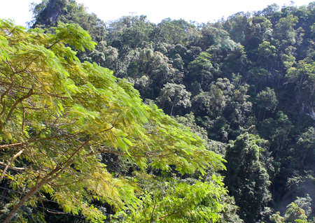 evergreen trees: The evergreen tropical trees south of Thailand South East Asia