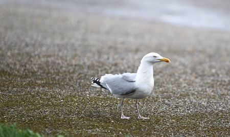 mew: Gull sitting on the beach, Netherlands, Europe