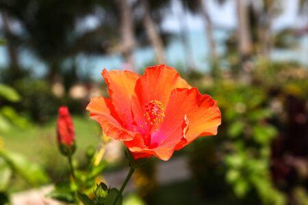 koh samui: Red tropical flower hibiscus in bloom, Koh Samui, Thailand Stock Photo