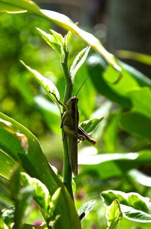 langosta: langosta verde tropical sentado en una rama, Tailandia