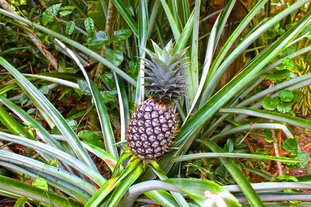 'koh samui': ordinary pineapple growing like grass, Koh Samui, Thailand Stock Photo
