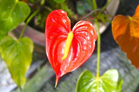 southeast asia: Blooming bright red tropical flower, Thailand, Southeast Asia Stock Photo