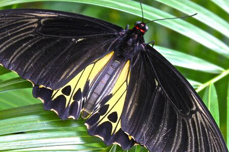 The largest butterfly in the world, or Troides