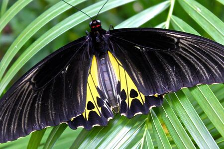 largest: The largest butterfly in the world, or Troides