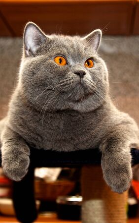 This beloved pet cat breed British Shorthair