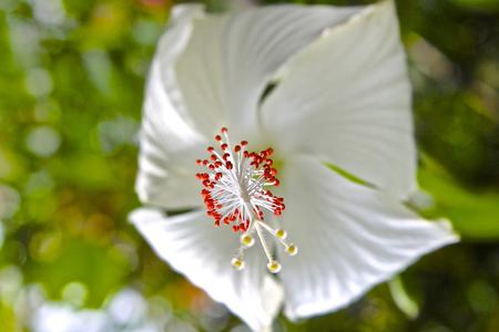 'koh samui': White tropical flower hibiscus in bloom, Koh Samui, Thailand Stock Photo