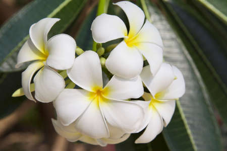 Flowering white tropical flower, Thailand, Southeast Asia