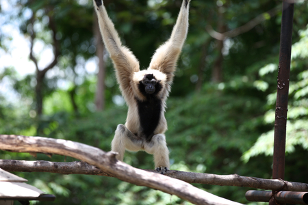 simian: Monkeys are busy with their chores, Thailand, Southeast Asia