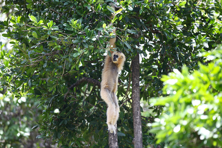 copycat: Monkeys are busy with their chores, Thailand, Southeast Asia