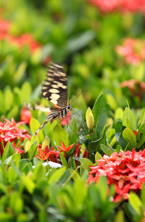 southeast asia: Butterfly pollinating flowers, Thailand, Southeast Asia