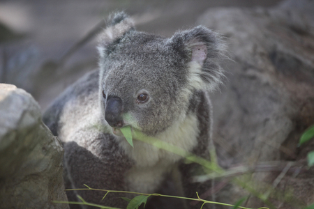 marsupial: Koala is a small marsupial animal, Thailand, Southeast Asia