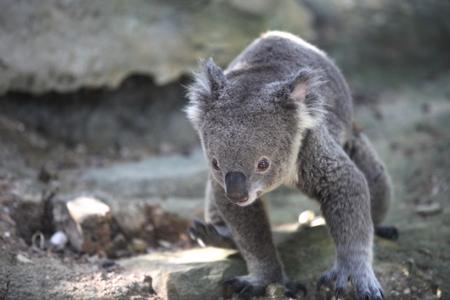 chordates: Koala is a small marsupial animal, Thailand, Southeast Asia