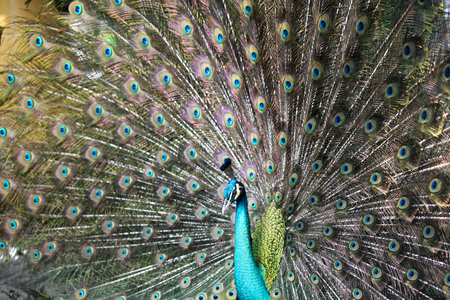 luxurious: Peacock with a long neck and a luxurious plumage, Thailand Stock Photo