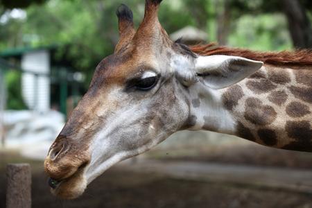 southeast asia: Giraffe with a long neck, Thailand, Southeast Asia