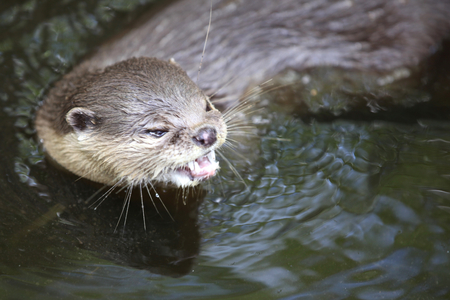 southeast asia: River otters are very active, Thailand, Southeast Asia