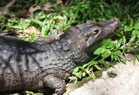 formidable: Crocodile resting in the sun, Thailand, South East Asia