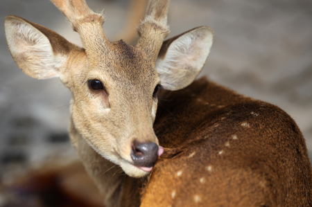 southeast asia: Elegant deer brown color, Thailand, Southeast Asia Stock Photo