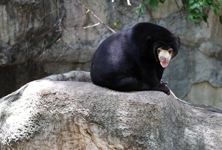 muzzle: Black bear with a light muzzle, Thailand, Southeast Asia