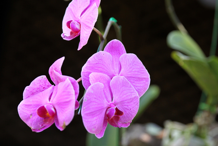 colorific: Flowering of colorful orchids, Thailand, South East Asia