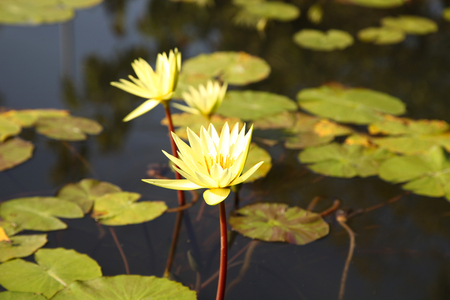 nenuphar: Multicolored flowers lilies grow in the water, Thailand. Southeast Asia