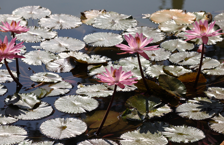 florescence: Multicolored flowers lilies grow in the water, Thailand. Southeast Asia