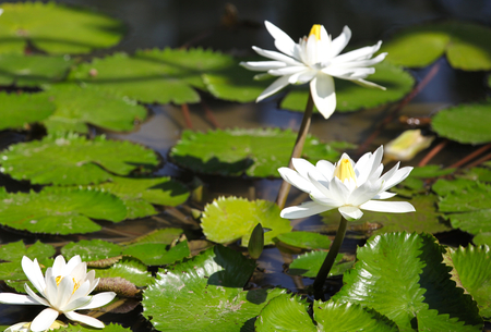 southeast asia: Multicolored flowers lilies grow in the water, Thailand. Southeast Asia