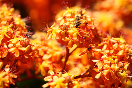 Bee pollinating colorful flowers, Thailand, Southeast Asia Stock Photo