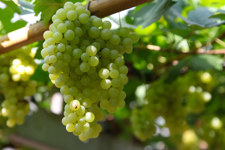 fascicule: Bunches of grapes in the vineyard, Thailand, South East Asia Stock Photo