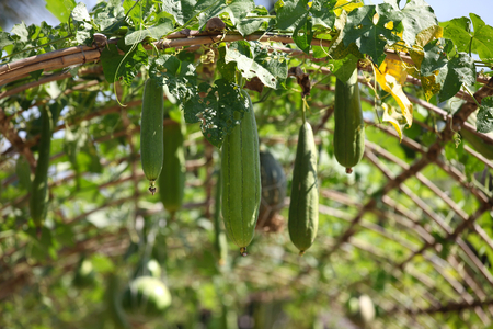 southeast asia: Various tropical fruits in the garden, Thailand, Southeast Asia