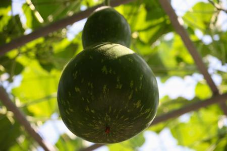 garden stuff: Various tropical fruits in the garden, Thailand, Southeast Asia