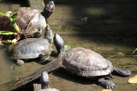 Turtles go about their business, Thailand, South East Asia