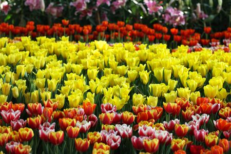 colorific: Flowering of colorful tulips, Thailand, Southeast Asia