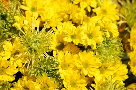 Various bright yellow flowers in composition, Thailand, Southeast Asia