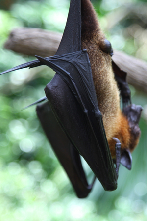 Bat is hanging on a tree branch, Singapore, southeast asia