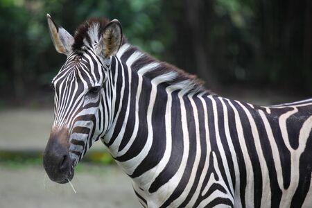 Striped zebra chews grass, Singapore, South East Asia Banco de Imagens
