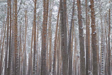 Walking through the winter forest on the first snow, Russia Stock Photo
