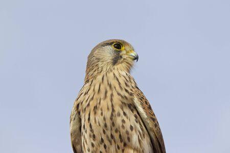 Proud bird of prey falcon family, Cyprus Stok Fotoğraf