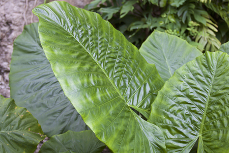 Huge green leaves of tropical plants, Thailand