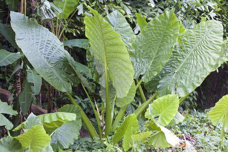 열대 식물, 태국의 거대한 녹색 잎