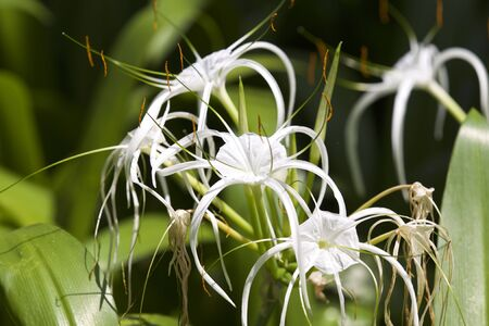White tropical cultivated flowers with long petals, Myanmar